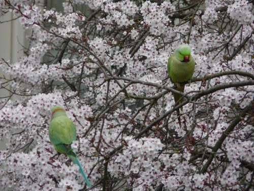 Faye Cossar Spring Parakeets