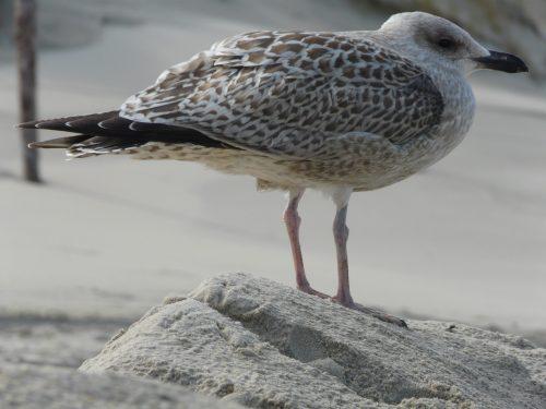 Faye CossarTexel gull