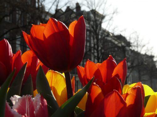 Faye Cossar tulips in amsterdam