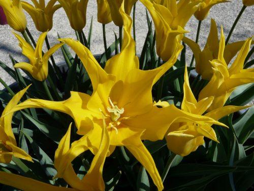 Faye Cossar yellow tulips